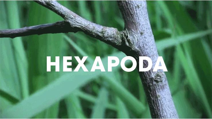 Hexapoda